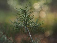 Jong dennetje (nikjanssen) Tags: den bokeh vintagelenses helios442 tree pine explore bokelicious dof