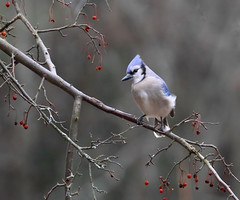 Blue Jay (vischerferry) Tags: bluejay berries jay newyorkstate winter cyanocittacristata