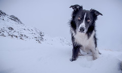 """""""Can I have another one of those white balls pleeease?"""" (JJFET) Tags: border collie dog sheepdog"""
