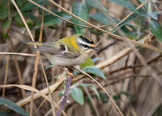 Day 25/365  Firecrest