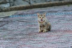 Girl Kitten (Sharleen Chao) Tags: kitten pet feralcat feline garden outside outdoors taiwan taipei 貓 浪浪 小虎 虎斑貓 三色貓 tabbycat 猫 ねこ 子猫 女の子 虎猫 トラ猫 トラちゃん