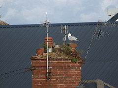 Neglected urban chimney being used as seagull nesting site (Philip_Goddard) Tags: nature naturalhistory animals vertebrates birds laridae larus larusargentatus herringgull seagull europe unitedkingdom britain british britishisles greatbritain uk england southwestengland devon exeter urban chimney neglect councilhouse exetercitycouncil