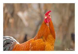 SHF_3118_Rooster