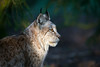 Eurasian Lynx Portrait (The Wasp Factory) Tags: eurasianlynx lynx nordluchs eurasischerluchs luchs lynxlynx portrait porträt tierparksababurg tierpark sababurg wildlifepark wildpark