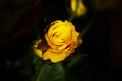 DSC_8829 (PeaTJay) Tags: nikond750 sigma reading lowerearley berkshire macro micro closeups gardens indoors nature flora fauna plants flowers bouquet rose roses rosebuds