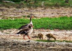 Family of four (Jaedde & Sis) Tags: grågæs greylag goose family four öland challengeyouwinner cyunanimous