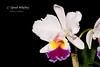 Cattleya Oprah Winfrey (Orchidelique) Tags: nature plant flower exotic orchid hybrid cattleya c oprahwinfrey kittiwake laeliocattleya lc prisimpalette aos ncjc
