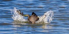 Bottoms up ! (DP the snapper) Tags: diving uptonwarren worcestershirewildlifetrust birds amusing coot