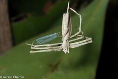 Deinopis sp. (Ogre-faced Spider), female (GeeC) Tags: animalia arachnida araneae araneomorphae arthropoda cambodia deinopidae kohkongprovince nature netcastingspiders ogrefacedspiders spiders tatai truespiders deinopis