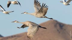 Sandhill Crane (Grus canadensis) (Tony Varela Photography) Tags: antigonecanadensis crane photographertonyvarela sacr sandhillcrane sandhillcraneflight canon