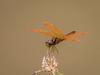 Libélula-laranja (Perithemis sp) Amberwing (Eden Fontes) Tags: libélulas semid fazendanossasenhoradasneves amberwing carnaval2018 vassouras libélulalaranja rj invertebrados dragonflies perithemissp