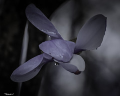 Raindrops On Violet (that_damn_duck) Tags: nature petals blossom blooming rain raindrops drop droplets waterdrops