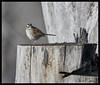 White-throated Sparrow at Eagle Bluffs Conservation Area (Nikon66) Tags: whitethroatedsparrow sparrow eaglebluffsconservationarea boonecounty columbia missouri nikon d850 600mmnikkor
