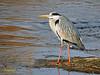 Garza real (Ardea cinerea) (48) (eb3alfmiguel) Tags: aves zancudas ciconiiformes ardeidae garza real ardea cinerea