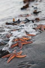 Starfish. (liv_biel) Tags: water beach sea starfish