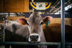 jongleur (Jen MacNeill) Tags: pa farm show agriculture exhibition farming ag pennsylvania harrisburg dairy cow cows cattle brown swiss