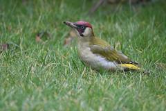 Green Woodpecker on the ground (rtatn8) Tags: bushey hertfordshire england uk nature wildlife bird avian winged wild color colour landscapeorientation greenwoodpecker picusviridis ontheground flickr