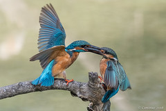 Territorial fight between kingfishers. (Ciminus) Tags: palude naturesubjects aves ornitologia nature ciminus birds martinpescatore ciminodelbufalo martinpêcheur kingfisher wildlife alcedoatthiss valli parcodeldeltadelpo ornitology afsnikkor80400vr oiseaux alcedinidae nikond500 nikon uccelli alcedoatthis