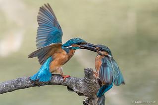 Territorial fight between kingfishers.