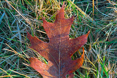 A Leaf Left (Chancy Rendezvous) Tags: leaf winter autumn fall grass icy ice frost frosty red green ground lawn