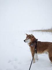 Blizzard Morning Walk (pjen) Tags: shiba shibainu shibaken nihonken hiro dog koira primitive breed spitz japanese finland 日本犬 柴犬 urajiro winter snow lake icy ice blizzard snowing