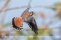 American Kestrel (jackdean3) Tags: american bird dean flight jack kentucky kestrel male nature raptor