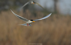 River Tern (Jawad_Ahmad) Tags: nature naturesphotography naturelover natureart naturephotographer beautyofnature beautiful flight rivertern light bokeh wildlifephotography wildlifeofpakistan wildlife flicker jawadsphotography sialkot pakistan