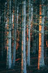 Forest Sunset (Octal Photo) Tags: 500px light tree branch season bark golden hour maple trunk birch beech deciduous sunset scotland nature forest