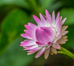 Strawflower (Basingstoke Hugh) Tags: strawflower herbaceous aster plant pink