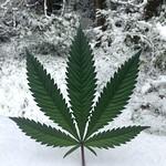 Cannabis Is Cool - 2018 thumbnail