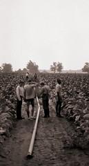 ontario tobacco harvest (cpt. willard) Tags: 1988 canada ontario ontarioyourstodiscover burford primingmachine tablegirls boatdriver kiln brantcounty farm summer
