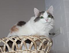 Heyni (andymiccone) Tags: cat katze katt kissa feline tabby chat gato white angora animal beautiful cute pet domestic heyni kitten heini siberian