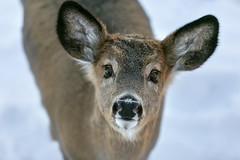 Portrait of Innocence (Jenna.Lynn.Photography) Tags: animal macro fur face furry baby fawn deer buck eyes innocent innocence ears nose whiskers cute nature white brown wildlifephotography wildlife wild pet friendly curious canon eos 5dmarkiii winter january 2018 portrait wisconsin north upnorth looking