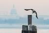 Eagle Take Off (caroljeanphotography) Tags: baldeagle eagle americanbaldeagle