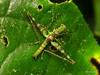 Monkey hopper, Eumastacidae (Ecuador Megadiverso) Tags: amazon andreaskay ecuador eumastacidae grasshopper id499 monkeygrasshopper monkeyhopper orthoptera rainforest