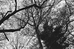 Hampstead Heath (fabiolug) Tags: tree trees branches nature park hampsteadheath hampstead london leicam6 leicam6ttl leicam6ttl072 leica m6 rangefinder film fimphotography believeinfilm 35mmsummicronasph 35mmf2summicronasph summicronm35mmf2asph summicron35mmf2asph 35mm summicron leicasummicron leica35mm fujifilmneopanpresto400 fujifilmneopan400 fujifilmneopanpresto neopan400 neopanpresto fujifilm blackandwhite blackwhite bw