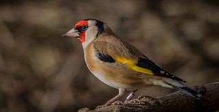 Goldfinch 7DWF