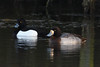 Scaup & Tufted Duck. (stonefaction) Tags: birds nature wildlife arbroath angus scotland keptie pond tufted duck scaup