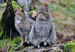 Wild Cats (Hugo von Schreck) Tags: hugovonschreck cat katze wildkatze wildcat canoneos5dsr tamronsp150600mmf563divcusda011
