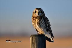 Short-eared Owl DSC_5834 (Ron Kube Photography) Tags: owl owls bird birds nature fauna ornithology alberta canada shortearedowl shorteared southernalberta raptor birdofprey nikon nikond500 d500 ronaldok globalbirdtrekkers asioflammeus ronkubephotography