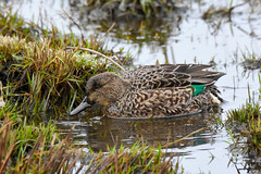 Green-winged Teal (Anas crecca) female (R-Gasman) Tags: bird greenwingedteal anascrecca female richmond britishcolumbia canada