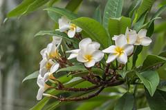 exotic beauties - exotische Schönheiten (ralfkai41) Tags: frangipani pflanzen plumeria flowers plants closeup blüten wachsblume pagodenbaum blossoms natur blumen