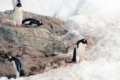 Brown_2017 12 11_2777 (HBarrison) Tags: harveybarrison hbarrison antarctica antarcticpeninsula paradiseharbor brownstation gentoopenguin taxonomy:binomial=pygoscelispapua arctic antarctic arcticantarctic