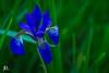 Iris-1 (john dyble) Tags: flower blue iris summer blueiris grass deep close up