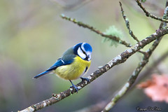 Mésange bleue_2300 (lucbarre) Tags: oiseau oiseaux bird birds gardin jardin arbre arbres tree trees mésange mésanges bleue blue extérieur outside mangeoire graines