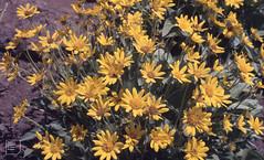 Balsamorhiza sagittata. Arrowleaf balsamroot. Lassen (Mary Gillham Archive Project) Tags: 1987 87225 arrowleafbalsamroot balsamorhizasagittata california lassenvolcanicpark planttree usa