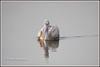 7582 - spotbilled pelican (chandrasekaran a 47 lakhs views Thanks to all) Tags: spotbilledpelican pelican birds nature india chennai sholinganallur marsh canoneos6dmarkii tamronsp150600mmg2 greypelican