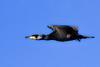 streamlined (Paul Wrights Reserved) Tags: cormerant wings arrow streamline streamlined bird birding birds birdphotography birdwatching birdinflight