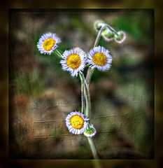 Ordinarily Extraordinary (Chris C. Crowley- Busy for a week or two!) Tags: ordinarilyextraordinary flowers wildflowers weeds floral botanical petals daisies tinyflowers macro