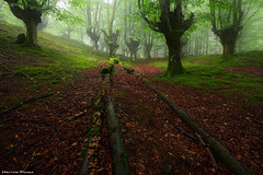 The circle of life (Hector Prada) Tags: bosque niebla hayedo árbol tronco musgo atmósfera mágico encantado forest fog tree trunk moss mood atmosphere enchanted creepy charmed paísvasco basquecountry